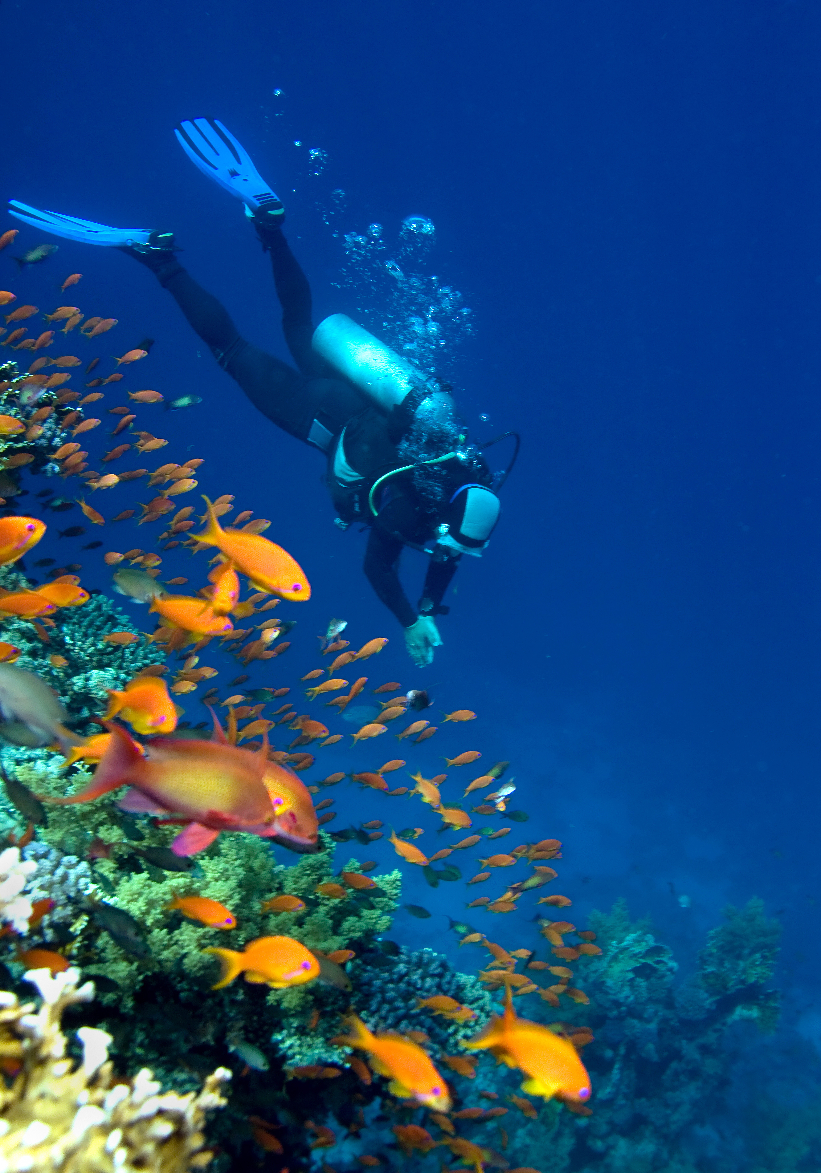 Corals, fishes and diver