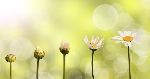 Etapes de la croissance d'une pquerette, fond nature